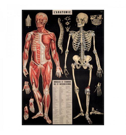 Affiche Anatomie Cavallini