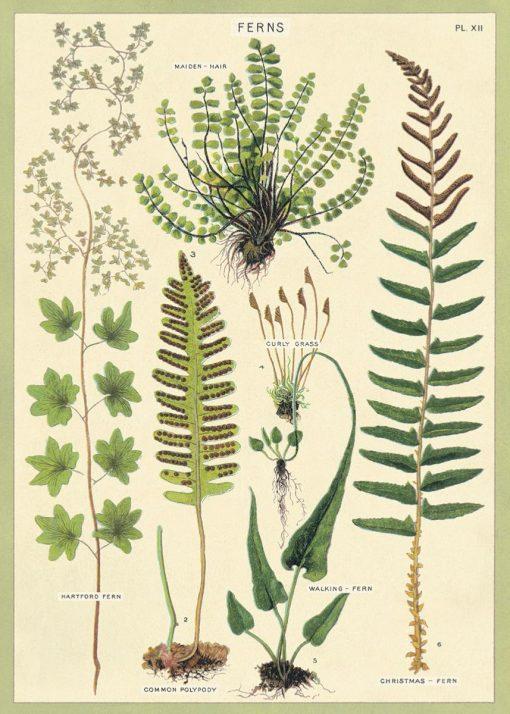 Affiche pédagogique Fougère Cavallini
