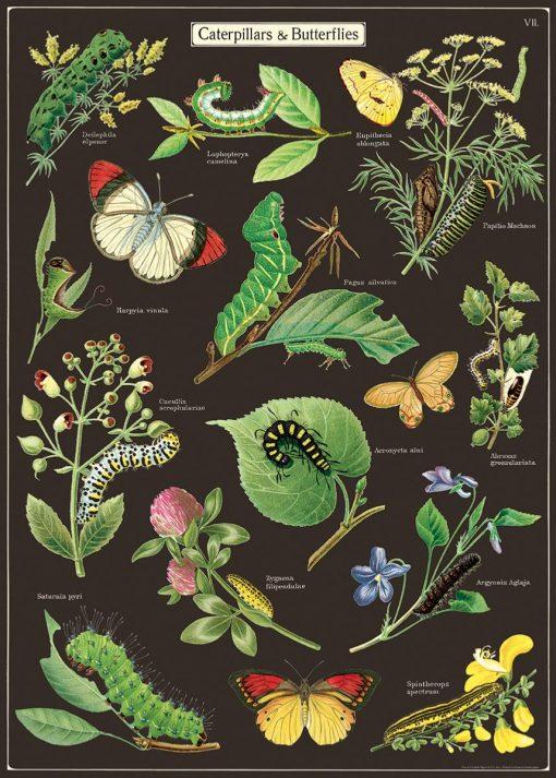 Affiche pédagogique Chenilles et papillons Cavallini
