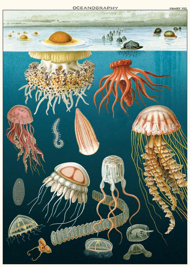 affiche pedagogique meduses cavallini