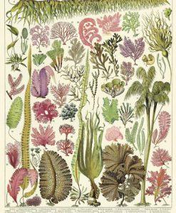 Affiche pédagogique Algues Cavallini